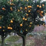 地径10公分橘子树苗价格  橘子树批发采购