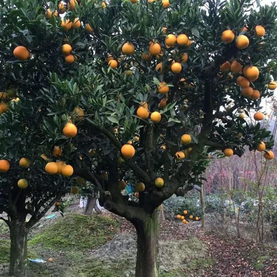 地徑10公分橘子樹苗價格  橘子樹批發采購
