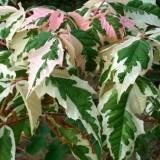 花叶复叶槭价格 花叶复叶槭基地批发