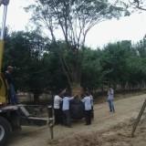 400公分冠幅叢生樸樹價格 江蘇樸樹基地