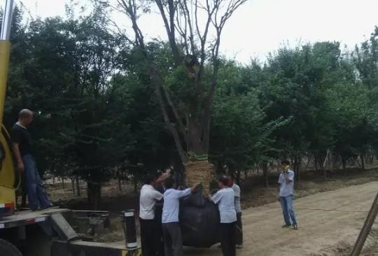400公分冠幅丛生朴树价格 江苏朴树基地