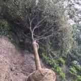 500公分冠幅叢生樸樹價格 江蘇樸樹基地