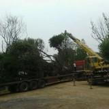 600公分冠幅叢生樸樹價格 江蘇樸樹基地