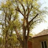 700公分冠幅叢生樸樹價格 江蘇樸樹基地