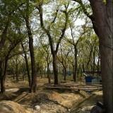 800公分冠幅叢生樸樹價格 江蘇樸樹基地