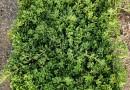中山佛甲草專供-屋頂無土綠化-生態隔熱-園林綠化