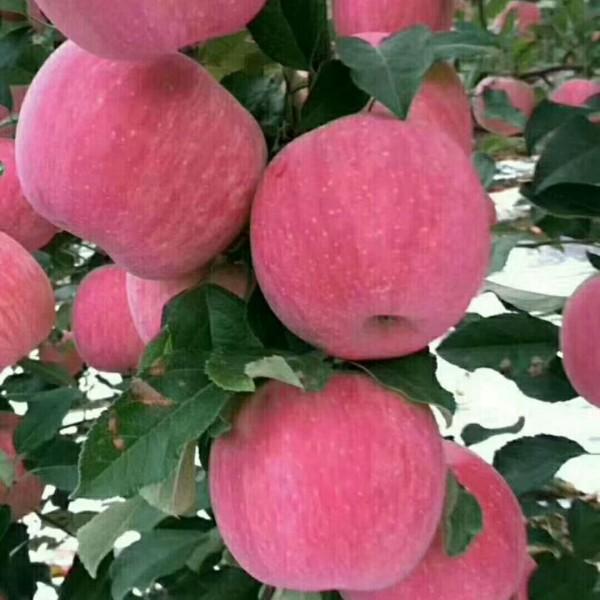 众成一号苹果苗价格 苹果苗基地 苹果苗最新价格