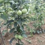 众成一号苹果苗价格 苹果苗基地 苹果苗价格