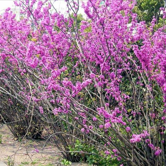 3公分紫荊價格 江蘇紫荊基地