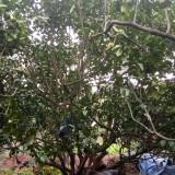 柚子树苗价格  柚子树种植基地