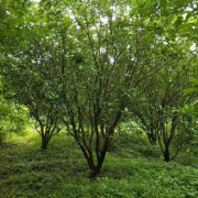 5米柚子树多少钱一棵?