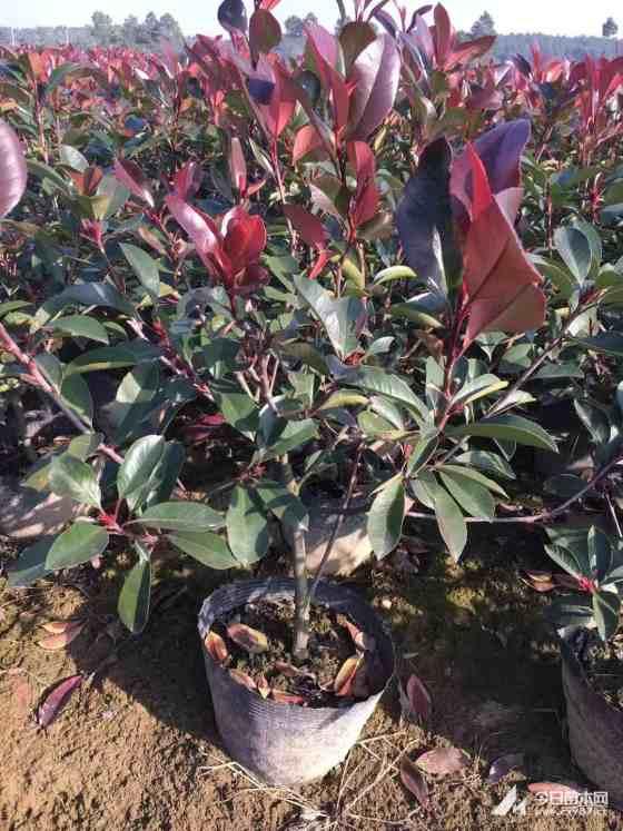 3年生红叶石楠大桶苗价格 红叶石楠大桶苗批发出售