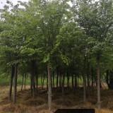 8公分青檀树