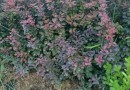 50公分高红叶小檗价格 江苏红叶小檗基地