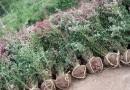 60公分高红叶小檗价格 江苏红叶小檗基地