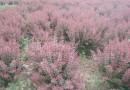 150公分冠幅红叶小檗球价格 江苏红叶小檗基地