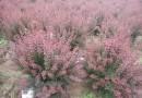 180公分冠幅红叶小檗球价格 江苏红叶小檗基地