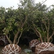 柚子树价格 柚子树专业合作社