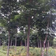 河南七叶树价格 七叶树种植基地