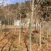 3公分七叶树价格 河南七叶树种植基地