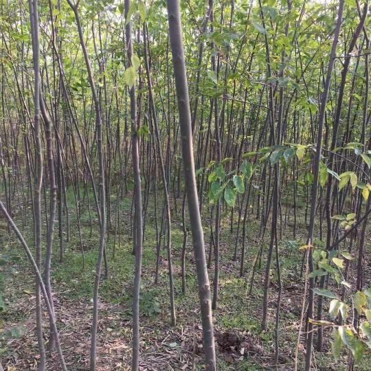 3公分朴树价格 河南朴树多少钱一棵