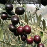 油橄榄苗子多少一棵 油橄榄苗价格