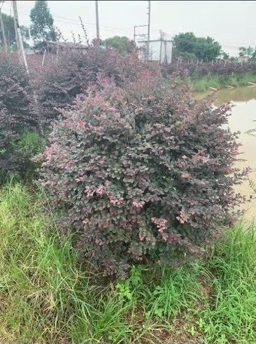 广东红花继木球批发出售 红花继木球种植基地