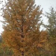 30公分银杏树价格