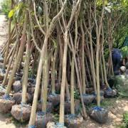 10公分枇杷树价格 枇杷树多少钱一棵