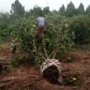 柚子树批发价格 成都柚子树多少钱一棵