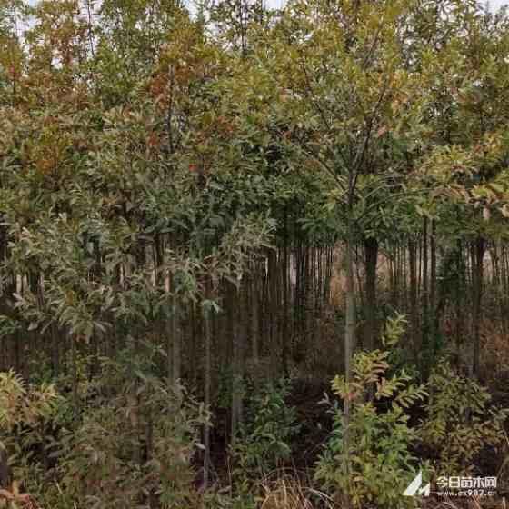四川杜英价格  5-20公分杜英树基地批发 农户直销