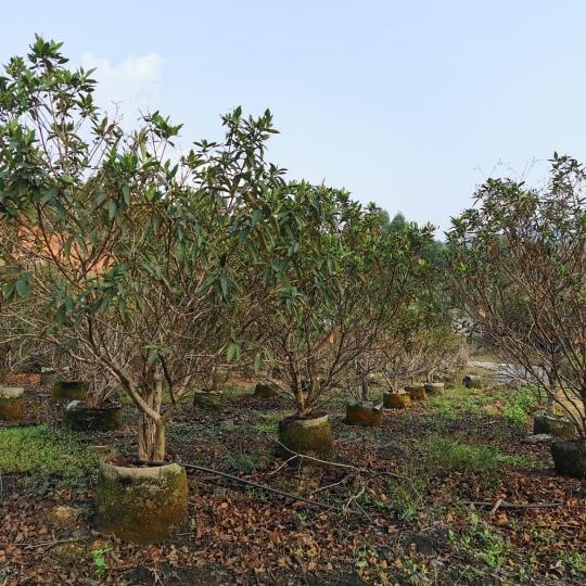 角茎野牡丹基地批发价格