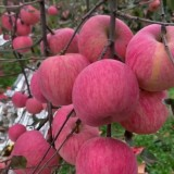 供应l众成一号,苹果苗,苹果苗价格,苹果苗基地