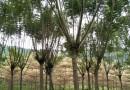 老人葵(华棕)杆高2.5米价格450元