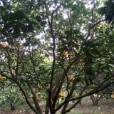 柚子树多少钱一棵?柚子树价格