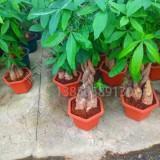 发财树盆栽小苗   发财树批发价格