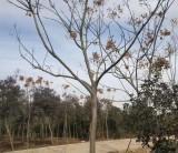 米径10公分栾树价格 安徽栾树基地批发