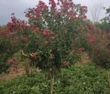 4公分美国红火球紫薇价格多少钱一棵