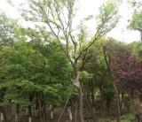 米径10公分朴树树苗价格 安徽朴树树苗基地批发