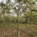 最新朴树树苗价格 朴树树苗基地批发