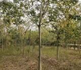 安徽米径12公分朴树树苗价格 安徽朴树树苗基地