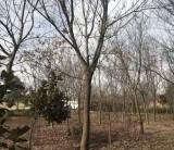 米径20公分朴树价格 安徽朴树基地