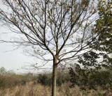 安徽朴树树苗价格 米径15公分朴树树苗价格