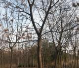 低价处理15公分朴树