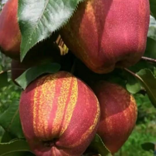 山东七彩红梨苗价格 红梨苗种植基地