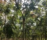 米径8公分栾树树苗价格是多少