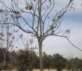 安徽米径12公分栾树树苗价格