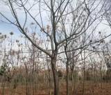米径18公分朴树树苗价格 安徽朴树