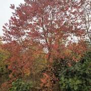 米径20公分乌桕树价格 安徽乌桕基地