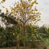 黄花风铃木袋苗 风铃木批发 桂丽园艺大量种植